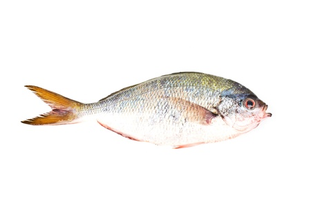 YELLOWTAIL FUSILIER Stock Photo - 16941588
