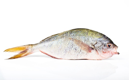 greenling: YELLOWTAIL FUSILIER