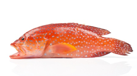 red grouper photo