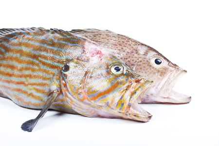 greenling:  Grouper