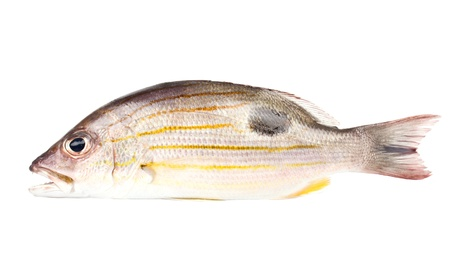 greenling: Russell s snapper