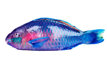 Parrot fish Stock Photo - 17039523