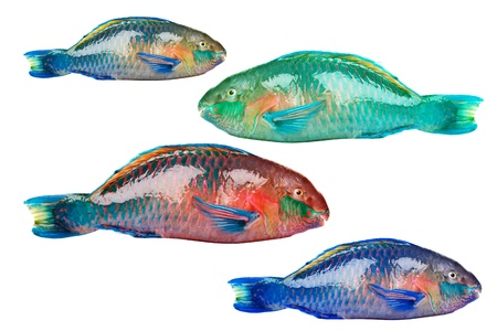 greenling: Parrot fish  Stock Photo