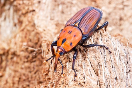 The red palm weevil, Rhynchophorus ferrugineus, is a species of snout beetle also known as the Asian palm weevil or sago palm weevil 版權商用圖片