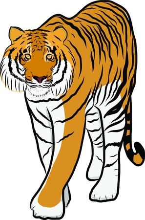 Hand drawn tiger vector Stock Vector - 19900961