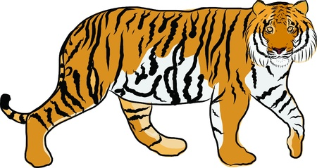 carnivores: Hand drawn tiger vector