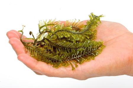 L'algue est un terme vague qui englobe famili? macroscopique, multicellulaire, algues marines benthiques