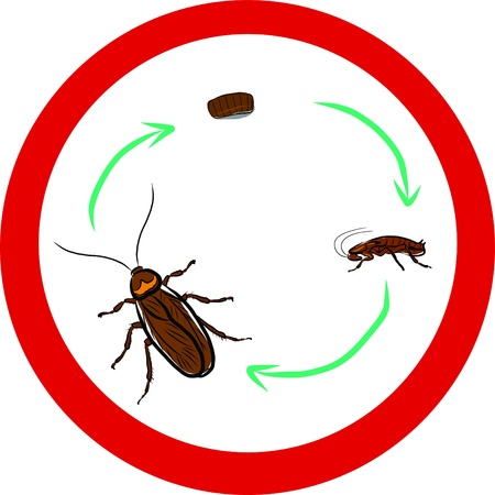 Cockroach life-cycle  Illustration