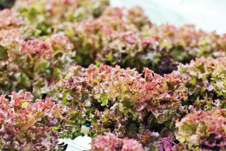 L'agriculture hydroponique de légumes en Thaïlande