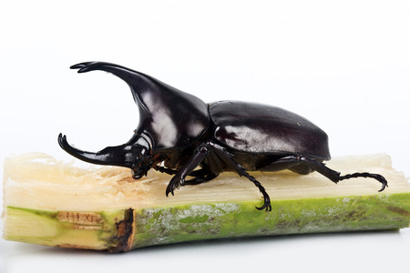 scarabaeidae: rhinoceros beetle of the Scarabaeidae family is commonly known  as the fighting beetle