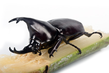 suger: rhinoceros beetle of the Scarabaeidae family is commonly known  as the fighting beetle