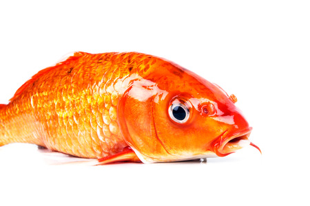 carpes, poissons de koi isolé