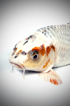 carp fish, koi fish isolated  photo