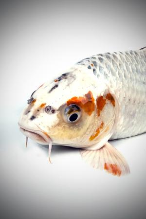 carp fish, koi fish isolated  photo