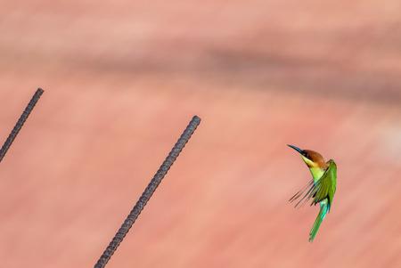 eater: Chestnut headed Bee eater