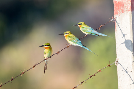 Blue-tailed Bee-eater, Merops philippinus, tropical bird, Thailand