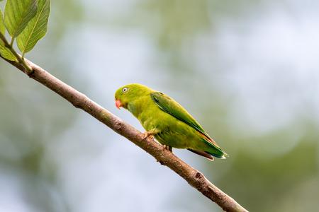vernal: Vernal Hanging Parrot Stock Photo