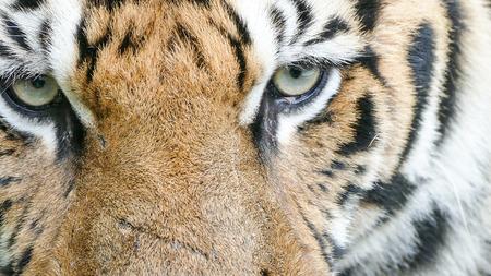 portrait yeux tigre du Bengale Banque d'images