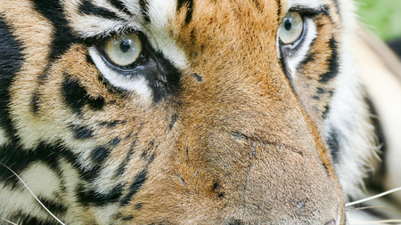 portrait of bengal Tiger eyes