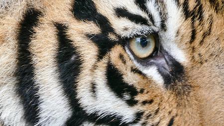 tigresa: retrato de los ojos del tigre de Bengala Foto de archivo