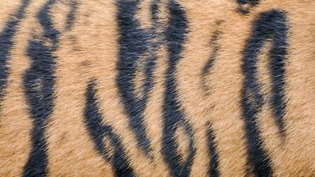 Peau d'un tigre royal du Bengale