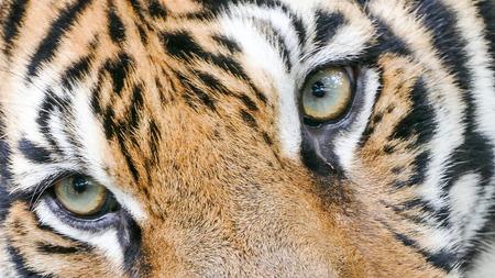 portrait yeux tigre du Bengale