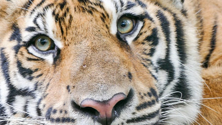portrait of bengal Tiger eyes