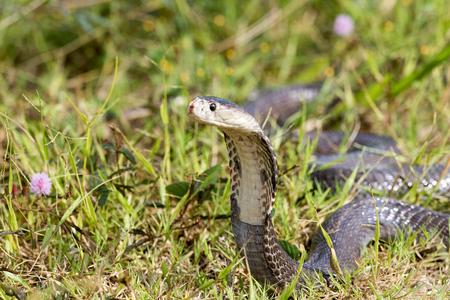 Cobra serpent dans les habitats naturels de la Thaïlande