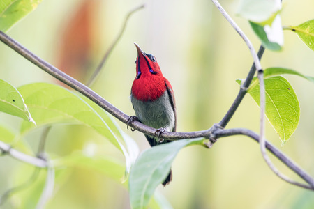 Crimson Sunbird in the wild