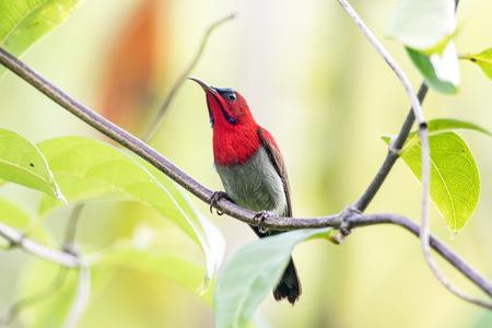 Crimson Sunbird à l'état sauvage Banque d'images