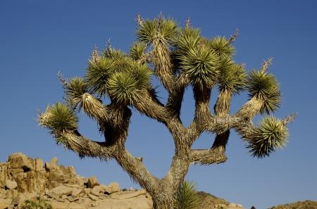 joshua: Joshua Tree