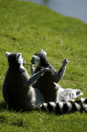 Ring-Tailed Lemurs  Comical  photo