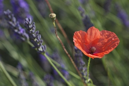 Close up  macro shot of open red wild poppy flower in the midst of a lavender field  photo