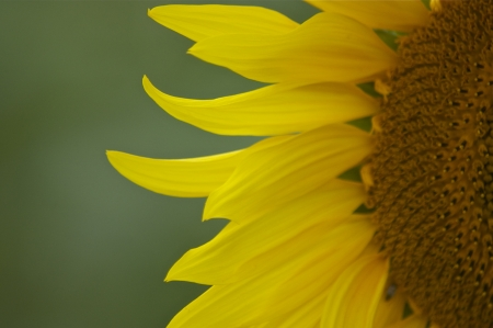 Very close up of  half of  a single bright yellow sunflower facing into camera against a green background, with copy space  photo