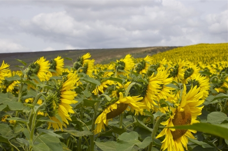 as far as the eye can see: Many hundreds of sunflowers as far as the eye can see in a rural  agricultural setting, leading up a hill, against a cloudy sky, with copy space