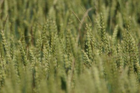 Grain on the field.