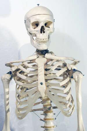 Human sceleton.