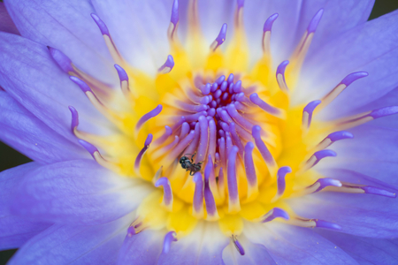 waterlilly: close up blooming purple lotus flower or purple waterlilly with bee pollinating flower