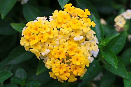 yellow and purple lantana lantana stock photos pictures royalty free lantana images and