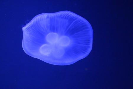 bioluminescent: moon jellyfish in blue light