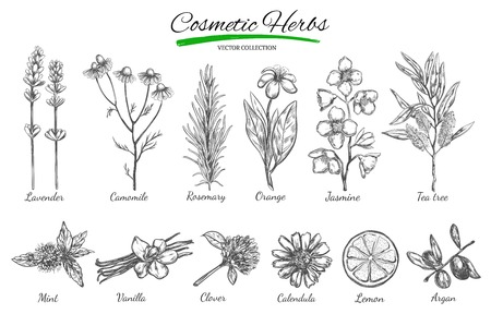 camomile tea: Natural cosmetics. Vector hand drawn. Isolated objects on white.