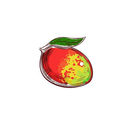 Mango vector hand drawn illustration. Isolated vector objects. Fruits illustration