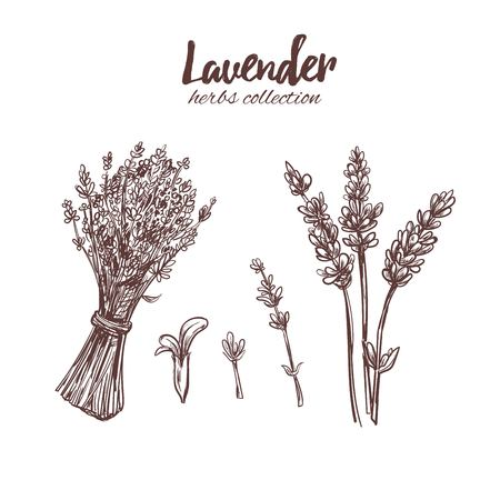 Lavender. Organic beauty and medicine herbs and flowers. Isolated Vector illustration. Medicial herbs for print, decoration, image, design, label, wrapping