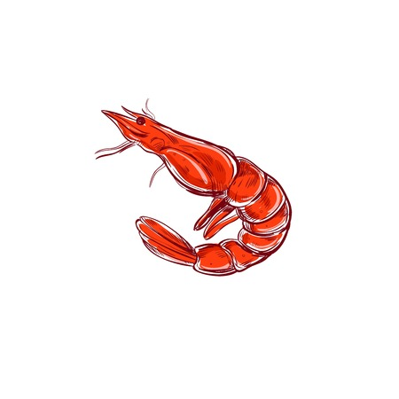 Shrimp. Vector illustration. Seafood sketch. Isolaed on white