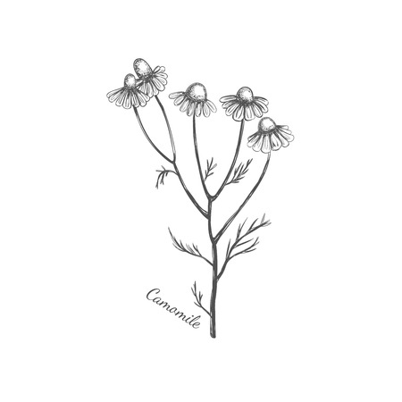 Camomile. Vector hand drawn illustration. Sketch style
