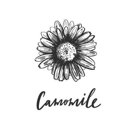 Vector hand drawn Camomile. Vintage sketch botanical illustration. Natural Medecine ingredient