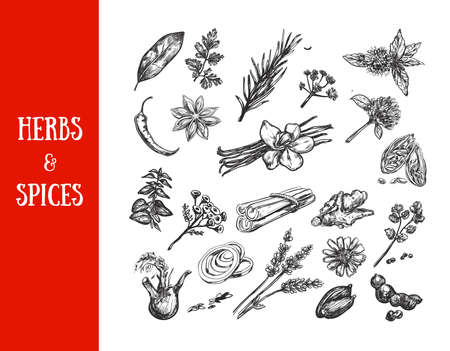 Herbs and spices collection. Vector hand drawn illustration. Isolated