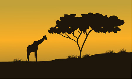 serengeti: silhouettes of Giraffes and trees  at the sunset