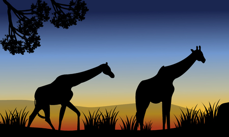 camelopardalis: Two giraffe walking in fields at the morning