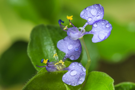 unwanted flora: Benghal dayflower, Dayflower, Tropical spiderwort, Wondering jew